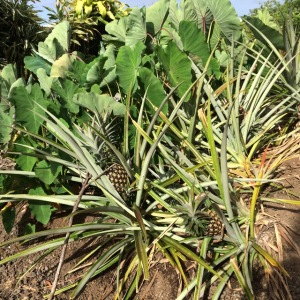 Taro Pineapple